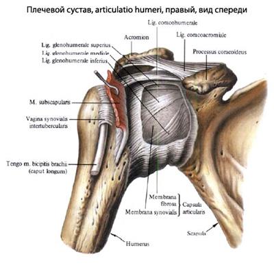 Cum să restaurați articulația umărului după o accidentare, Câți vindecă și vindecă glezna vindecă