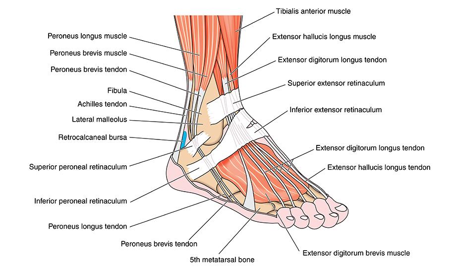 refacerea ligamentelor de gleznă după întindere