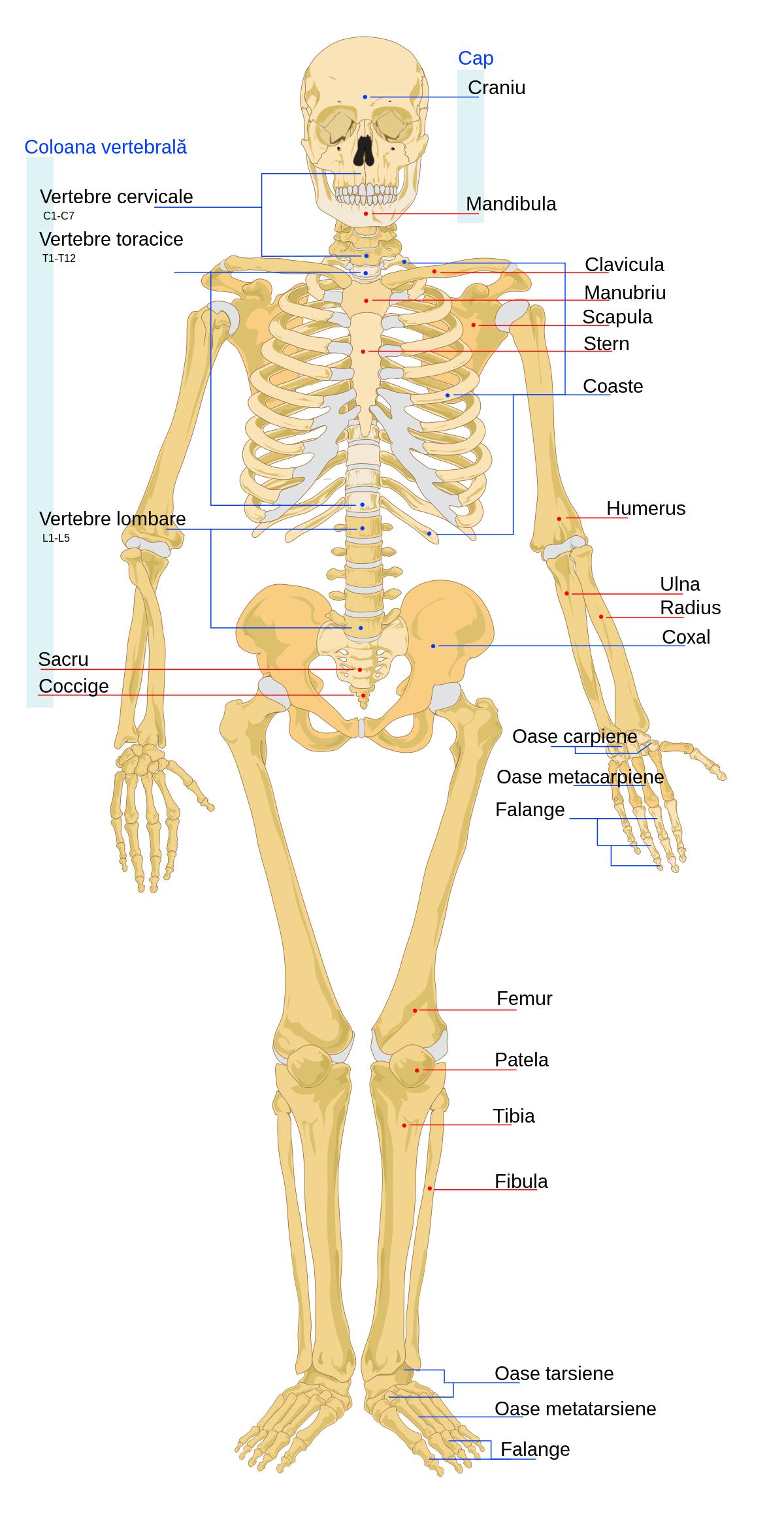 articulațiile și oasele doare durere în articulația genunchiului în afară