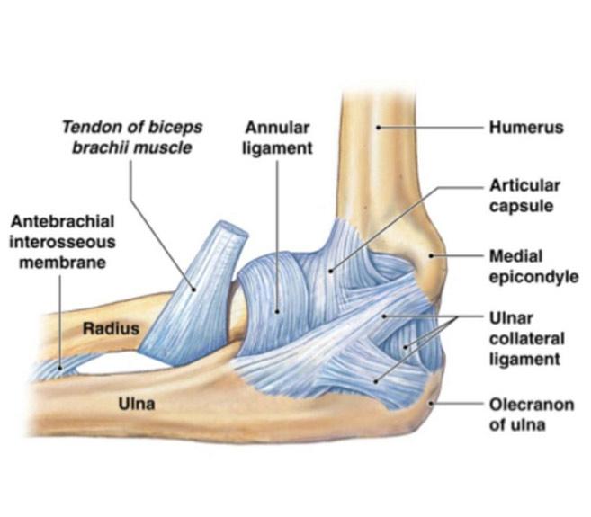 biceps în articulația cotului
