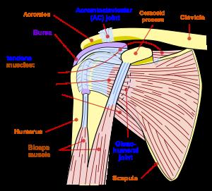 desenând dureri în articulația șoldului
