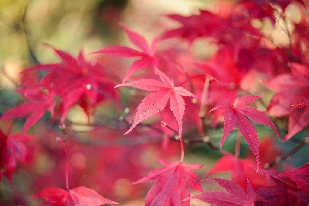 prescriptie articulara frunze de artar