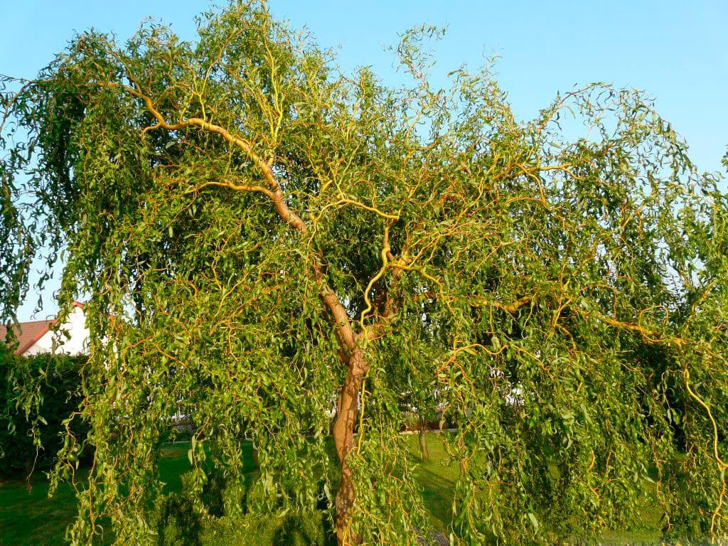 Specii comune de arbori și arbuști de salcie